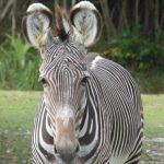 Zebra im Miami Zoo