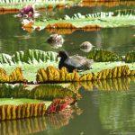 Wasserlilien im botanischen Garten von Pamplemousses
