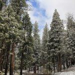 schneebedeckte Tannenbäume im Yosemite National Park