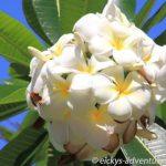 Plumeria - Waikiki