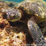 schnorcheln mit Schildkröten am Tunnels Beach