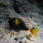 fotogene Nemo-Familie im Coral Beach Nature Reserve