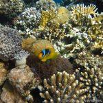 Nemo im Korallengarten