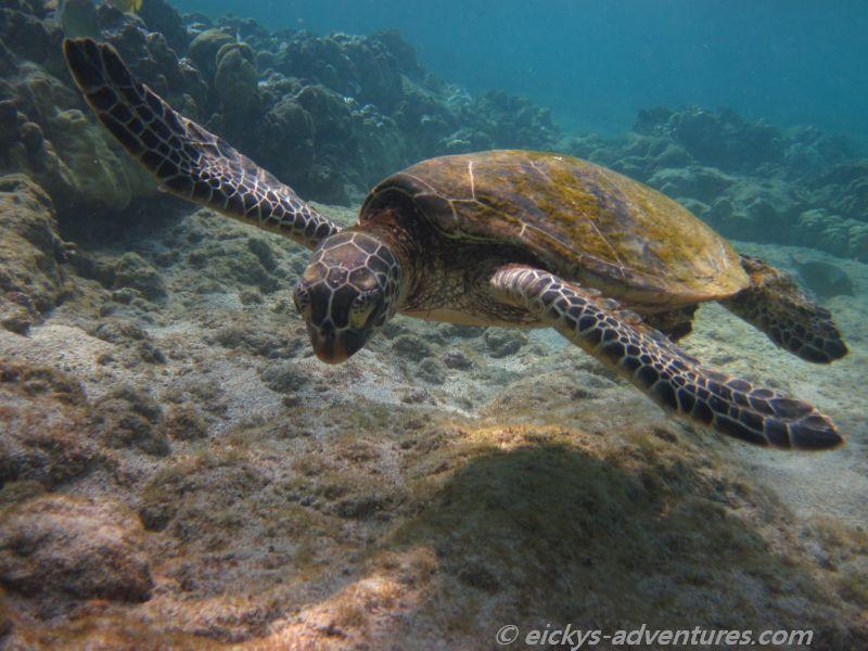 Kahuluu Beach Park: Schildkröte