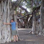 Lahaina: Banyan Tree