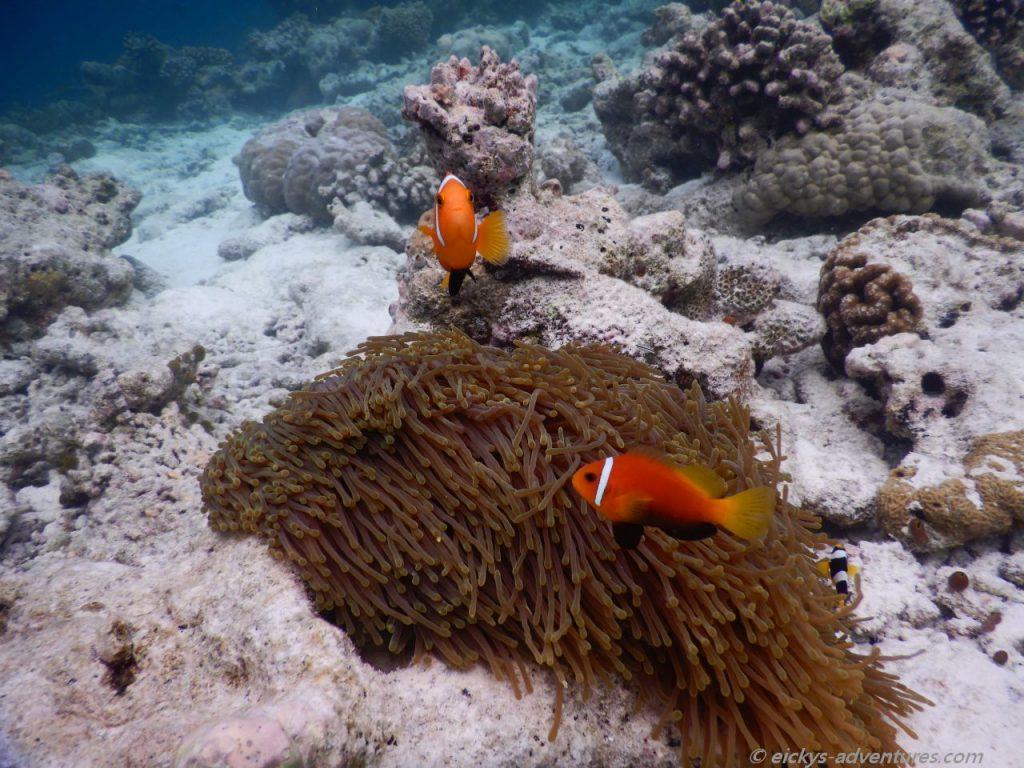 Unterwasserwelt an der Sandbank Kalhuhuraa: Anemonenfisch