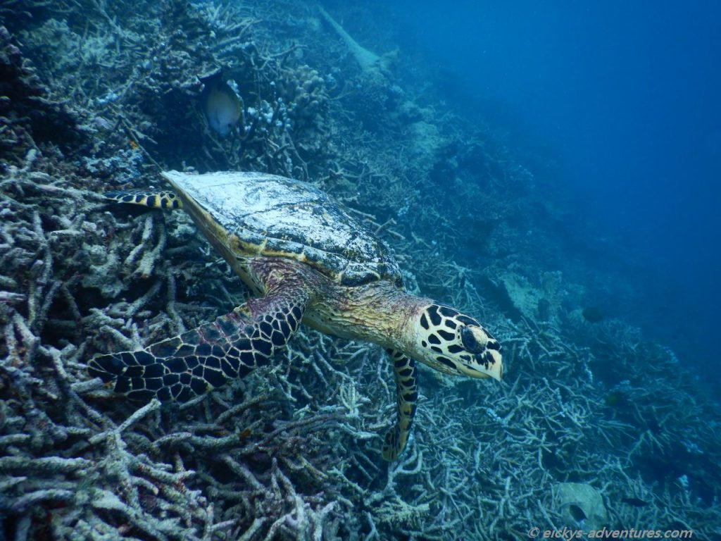 schnorcheln bei stürmischer See: Schildkröte