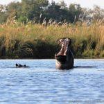 Hippo im Okavango Delta