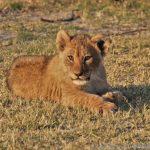 süßes Löwenbaby