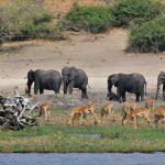 Bootstour auf dem Chobe River: Elefanten und Impalas