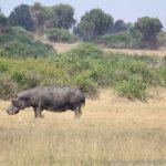 Hippo in der Kasenyi-Gegend