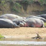 eine Sandbank voller Hippos