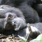 Schimpansen Alpha-Männchen