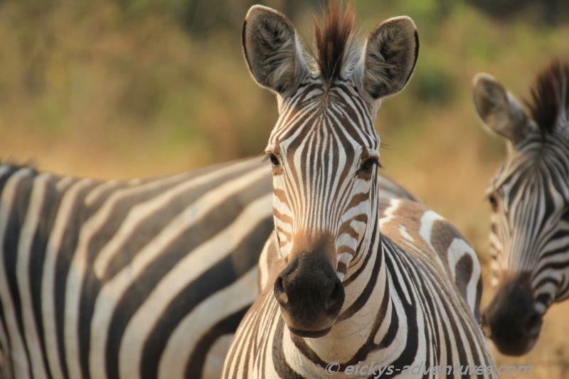 Zebras im Lake Mburo National Park
