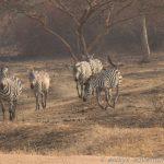 Zebra-Wallfahrt