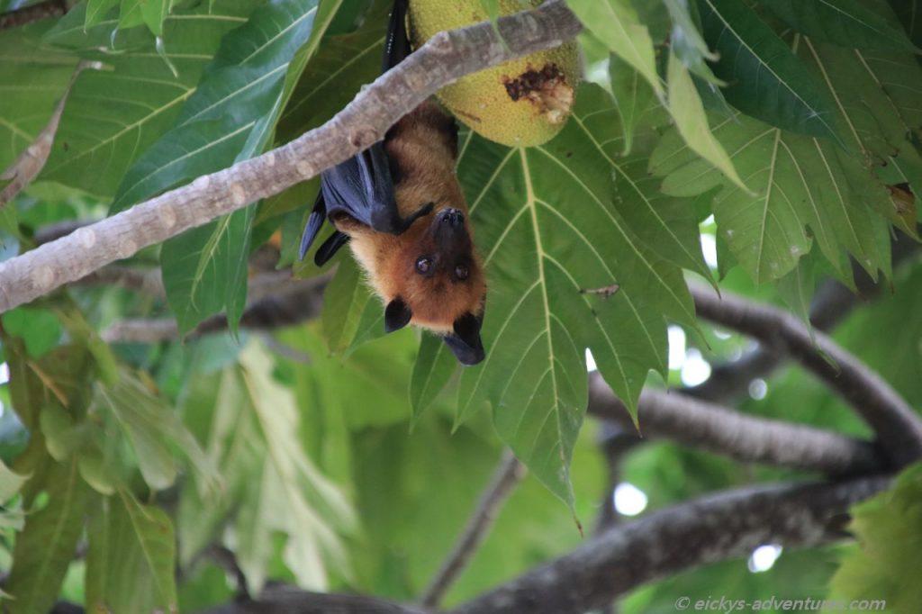 Impressionen von Mamagili: Fledermaus mit Brotfrucht