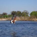 African Fish Eagle im Okavango Delta