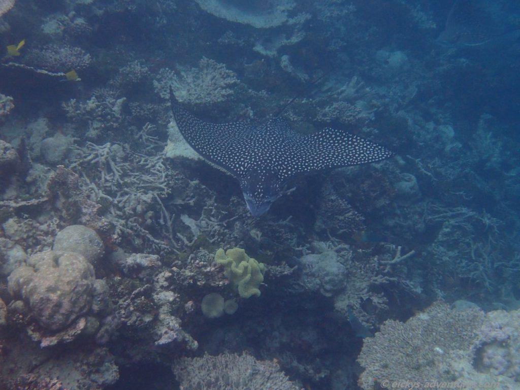 Unterwasserwelt an der Insel Hurasdhoo: Adlerrochen