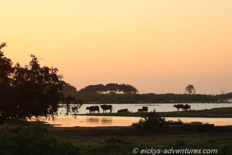 Büffel in der Morgenröte im Yala Nationalpark