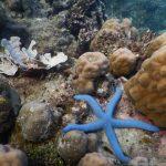 Unterwasserwelt am Bio Rock Project in Pemuteran: Seestern