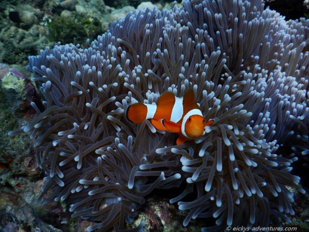 Unterwasserwelt am Bio Rock Project in Pemuteran