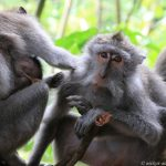 Monkey Forest in Ubud: Affenfamilie