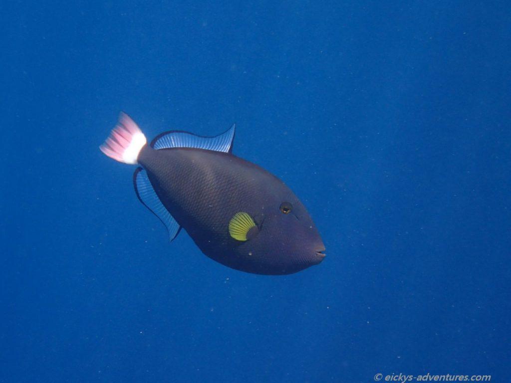 Unterwasserwelt Menjangan Island: Drückerfisch