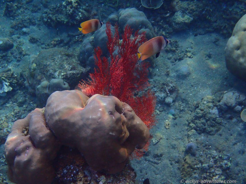 Unterwasserwelt am Lipah Beach: Feuerfisch