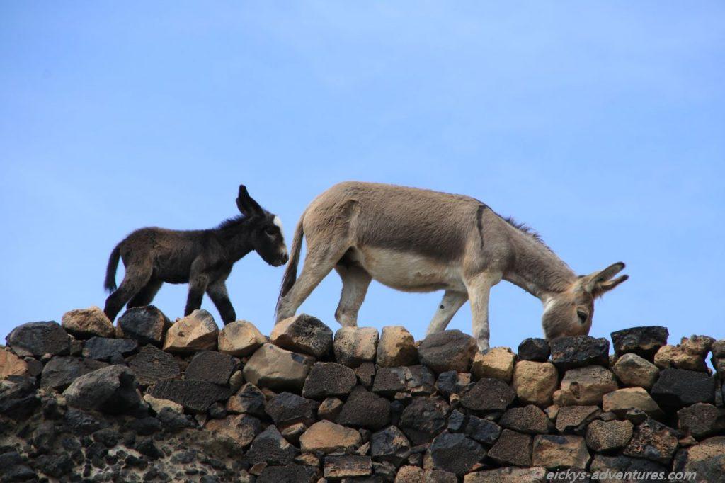 Esel auf dem Eselpfand von Tarrafal nach Monte Trigo