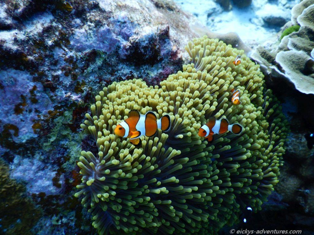 Unterwasserwelt bei Koh Tachai