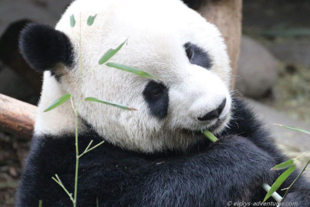 der Große Panda im Panda Research Center